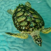 Hawksbill Turtle Bequia the Grenadines