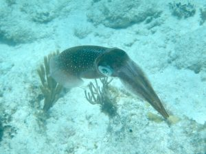 Caribbean Reef Squid in the BVI