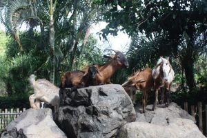 Goats Galore in the BVI