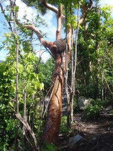 Turpentine Tree with Termites survived Irma