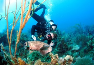Diving with a Porcuphinefish BVI