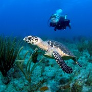 Diving with Turtles in the BVI