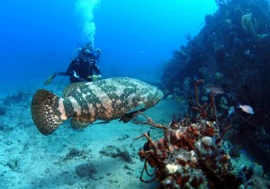 Giant Grouper in the BVI