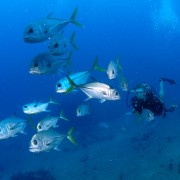 Horse Eyed Jacks Diving from Pacific Wave