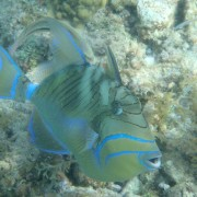 Queen Trigger Fish in the Caribbean