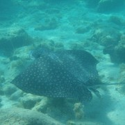 Spotted Eagle Ray off Peter Island BVI
