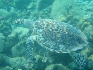 Hawksbill Turtle off Peter Island BVI