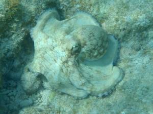 Caribbean Reef Octopus British Virgin Islands