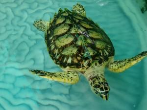 Hawksbill Turtle Bequia the Grenadines