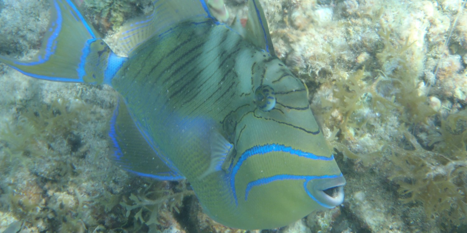 Pacific Wave Snorkeling Queen Trigger Fish