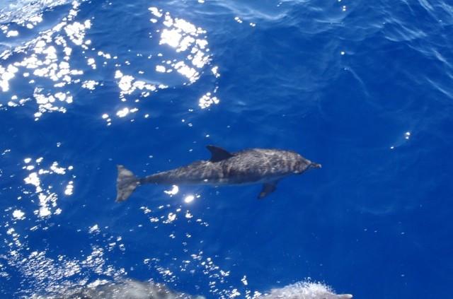 Dolphins seen off Guana Island BVI