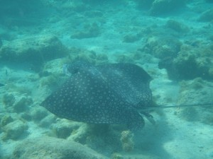 Spotted Eagle Ray off Diamond Reef