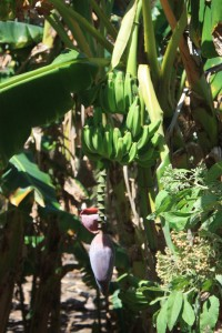 Bananas growing wild JVD British Virgin Islands