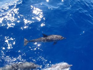 Dolphins swimming alongside Pacific Wave