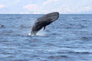 Sperm Whales off Pacific Wave between Bequia and Canouan