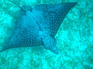 Spotted Eagle Ray swimming beneath SY Pacific Wave in the BVI