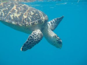 Turtle swimming in the BVI