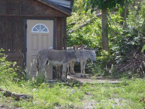 St John Donkeys that survived Hurricane Irma at the Annaberg Sugar Mill